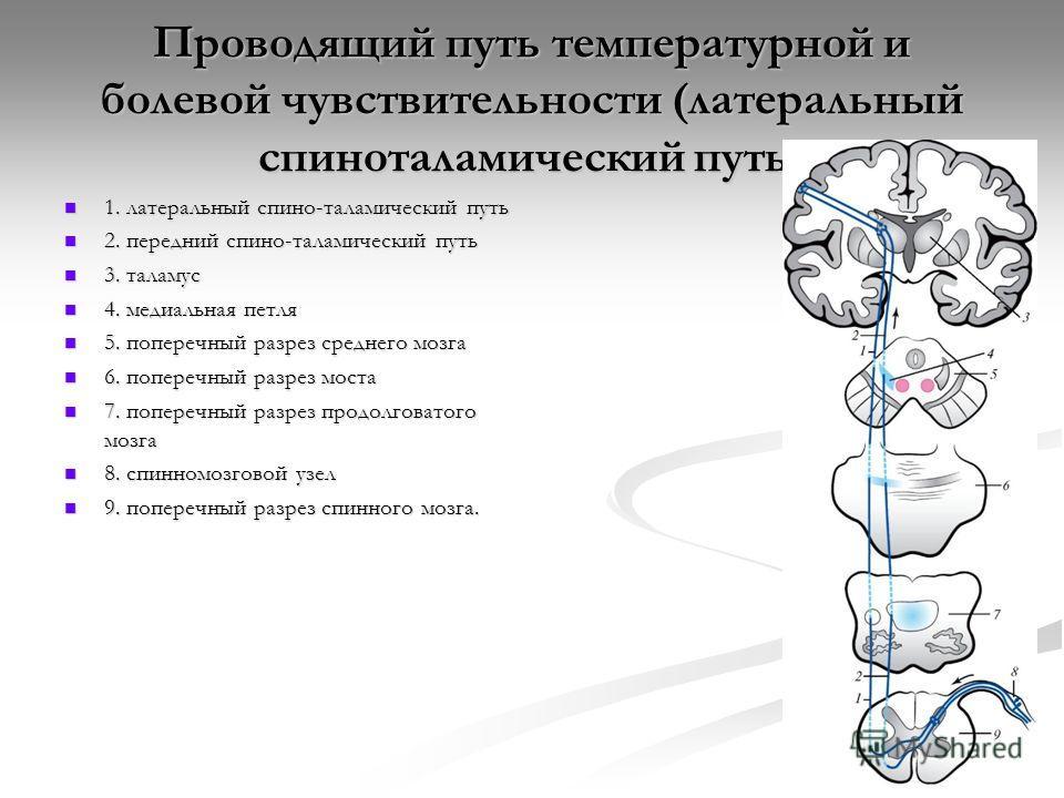 Проводящий путь температурной и болевой чувствительности (латеральный спиноталамический путь) 1. латеральный спино-таламический путь 1. латеральный спино-таламический путь 2. передний спино-таламический путь 2. передний спино-таламический путь 3. тал