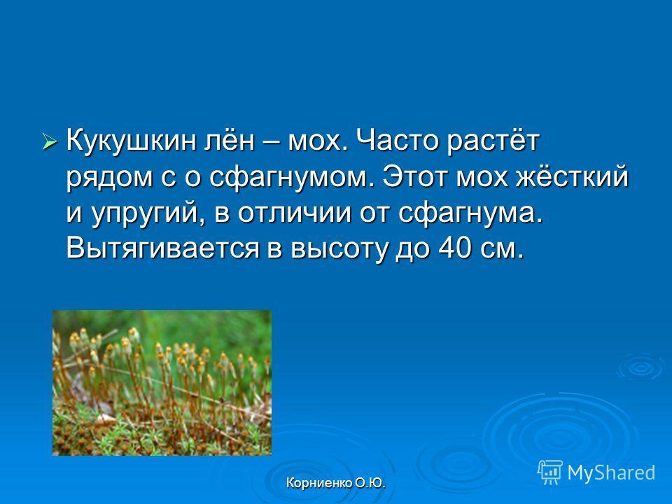 Корниенко О.Ю. Кукушкин лён – мох. Часто растёт рядом с о сфагнумом. Этот мох жёсткий и упругий, в отличии от сфагнума. Вытягивается в высоту до 40 см. Кукушкин лён – мох. Часто растёт рядом с о сфагнумом. Этот мох жёсткий и упругий, в отличии от сфа