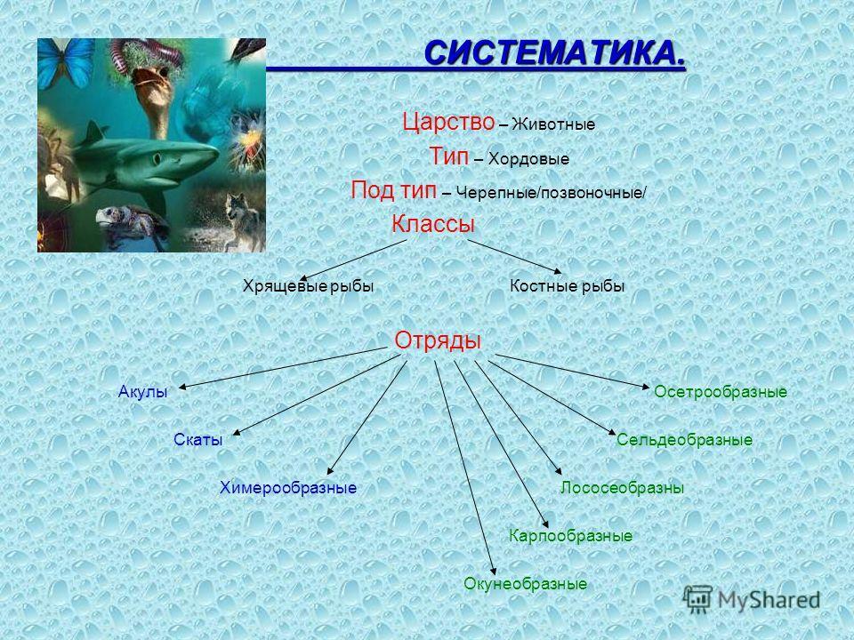 СИСТЕМАТИКА. СИСТЕМАТИКА. Царство – Животные Тип – Хордовые Под тип – Черепные/позвоночные/ Классы Хрящевые рыбы Костные рыбы Отряды Акулы Осетрообразные Скаты Сельдеобразные Химерообразные Лососеобразны Карпообразные Окунеобразные