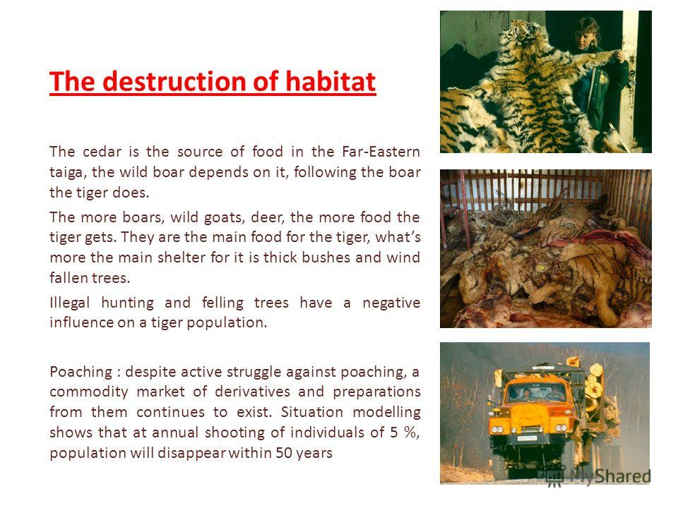 The destruction of habitat The cedar is the source of food in the Far-Eastern taiga, the wild boar depends on it, following the boar the tiger does. The more boars, wild goats, deer, the more food the tiger gets. They are the main food for the tiger,