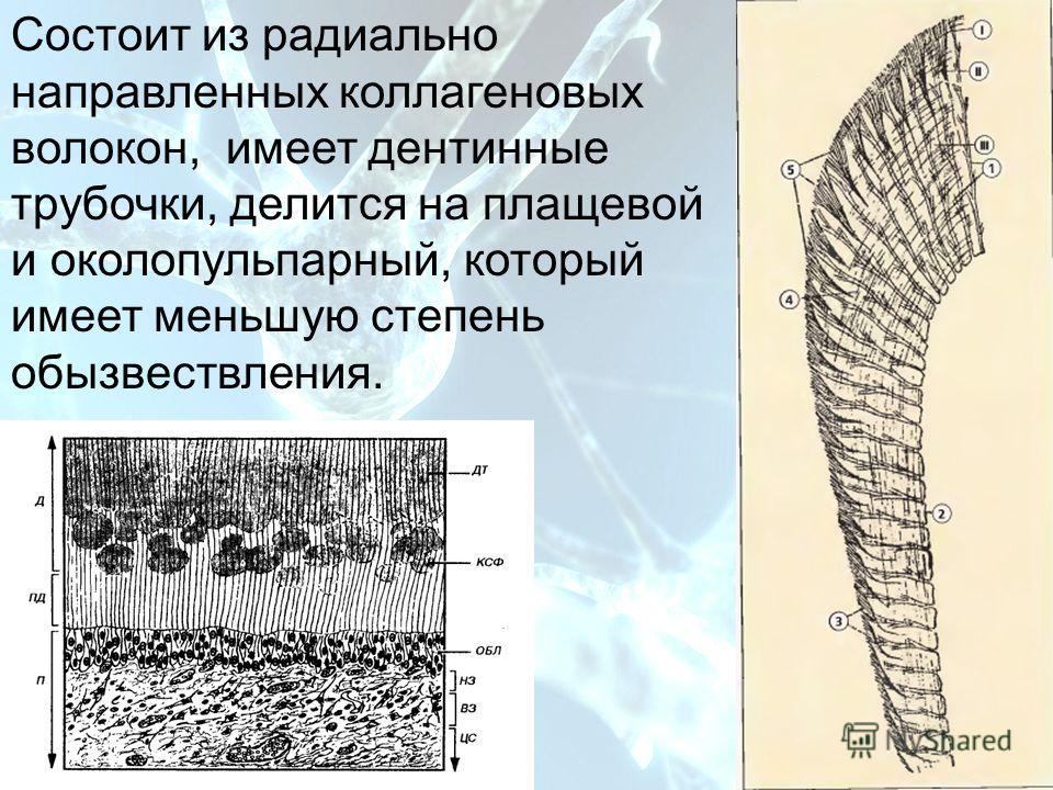 План Состоит из радиально направленных коллагеновых волокон, имеет дентинные трубочки, делится на плащевой и околопульпарный, который имеет меньшую степень обызвествления.