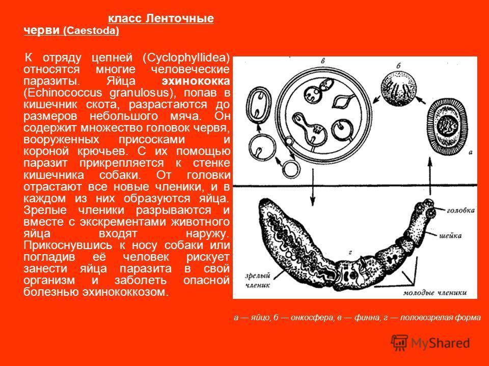 черви в желудке человека видео