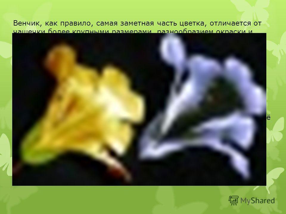 Венчик, как правило, самая заметная часть цветка, отличается от чашечки более крупными размерами, разнообразием окраски и формы. Обычно именно венчик создаёт облик цветка. Окраску лепестков венчика определяют различные пигменты: антоциан (розовая, кр