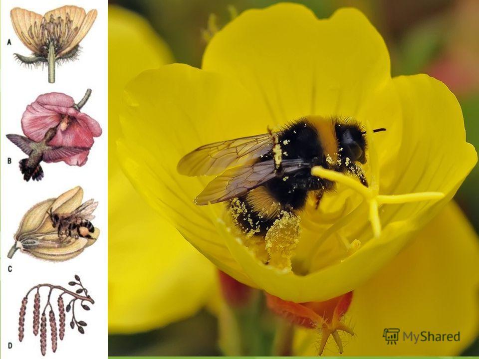 Роль венчика Роль венчика заключается в привлечении насекомых- опылителей. Кроме того, венчик, отражая часть спектра солнечных лучей, днём предохраняет тычинки и пестики от перегрева, а закрываясь на ночь, создают камеру, препятствующую их охлаждению