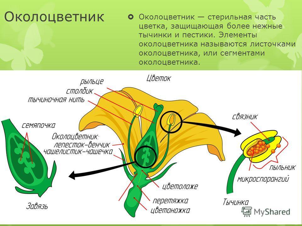 Околоцветник Околоцветник стерильная часть цветка, защищающая более нежные тычинки и пестики. Элементы околоцветника называются листочками околоцветника, или сегментами околоцветника.