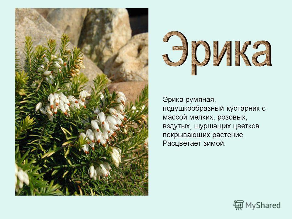 Эрика румяная, подушкообразный кустарник с массой мелких, розовых, вздутых, шуршащих цветков покрывающих растение. Расцветает зимой.