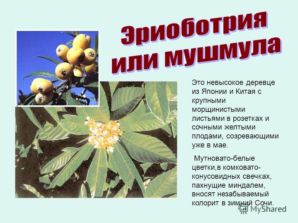 Это невысокое деревце из Японии и Китая с крупными морщинистыми листьями в розетках и сочными желтыми плодами, созревающими уже в мае. Мутновато-белые цветки,в комковато- конусовидных свечках, пахнущие миндалем, вносят незабываемый колорит в зимний С
