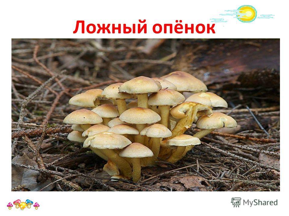 Ложный опёнок Ложный опёнок, ложноопёнок название нескольких видов ядовитых или несъедобных грибов, внешне похожих на съедобные опята ложные опята легко отличаются по отсутствию у них кольца на ножке