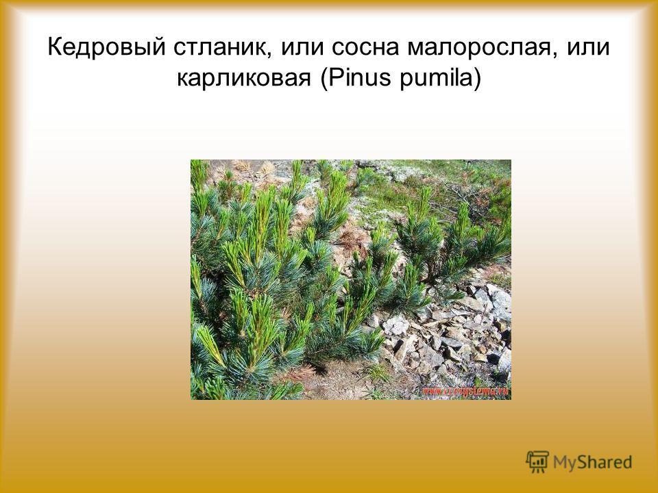 Кедровый стланик, или сосна малорослая, или карликовая (Pinus pumila)