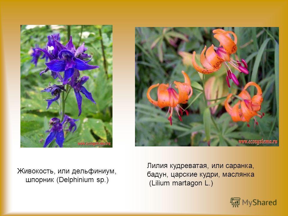 Живокость, или дельфиниум, шпорник (Delphinium sp.) Лилия кудреватая, или саранка, бадун, царские кудри, маслянка (Lilium martagon L.)