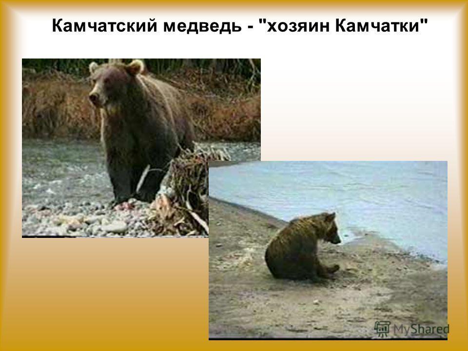 Камчатский медведь - хозяин Камчатки