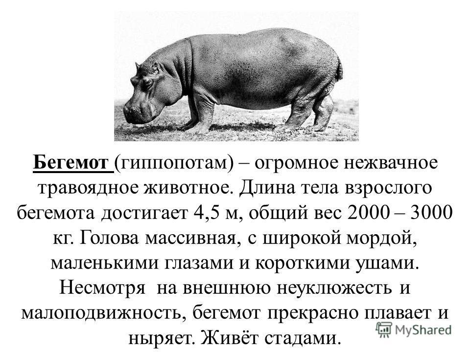 Бегемот (гиппопотам) – огромное нежвачное травоядное животное. Длина тела взрослого бегемота достигает 4,5 м, общий вес 2000 – 3000 кг. Голова массивная, с широкой мордой, маленькими глазами и короткими ушами. Несмотря на внешнюю неуклюжесть и малопо