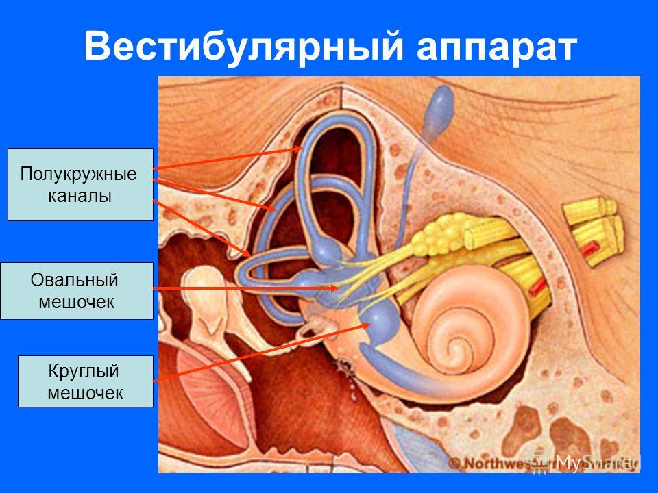 Вестибулярный аппарат Полукружные каналы Овальный мешочек Круглый мешочек