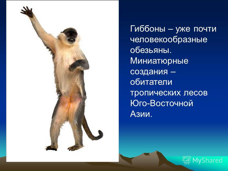 Гиббоны – уже почти человекообразные обезьяны. Миниатюрные создания – обитатели тропических лесов Юго-Восточной Азии.