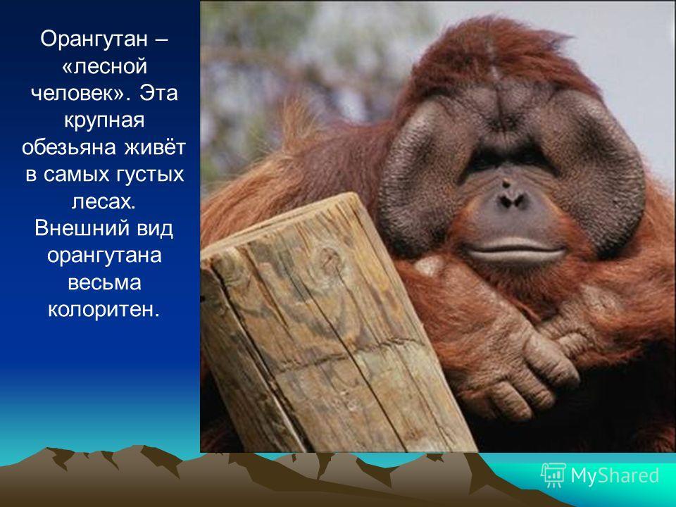 Орангутан – «лесной человек». Эта крупная обезьяна живёт в самых густых лесах. Внешний вид орангутана весьма колоритен.