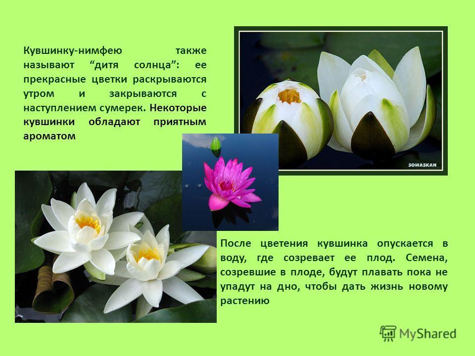Кувшинку-нимфею также называют дитя солнца: ее прекрасные цветки раскрываются утром и закрываются с наступлением сумерек. Некоторые кувшинки обладают приятным ароматом После цветения кувшинка опускается в воду, где созревает ее плод. Семена, созревши