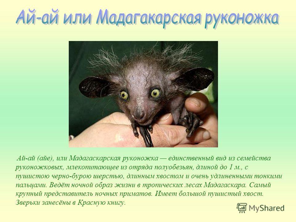 Ай-ай (айе), или Мадагаскарская руконожка единственный вид из семейства руконожковых, млекопитающее из отряда полуобезьян, длиной до 1 м., с пушистою черно-бурою шерстью, длинным хвостом и очень удлиненными тонкими пальцами. Ведёт ночной образ жизни