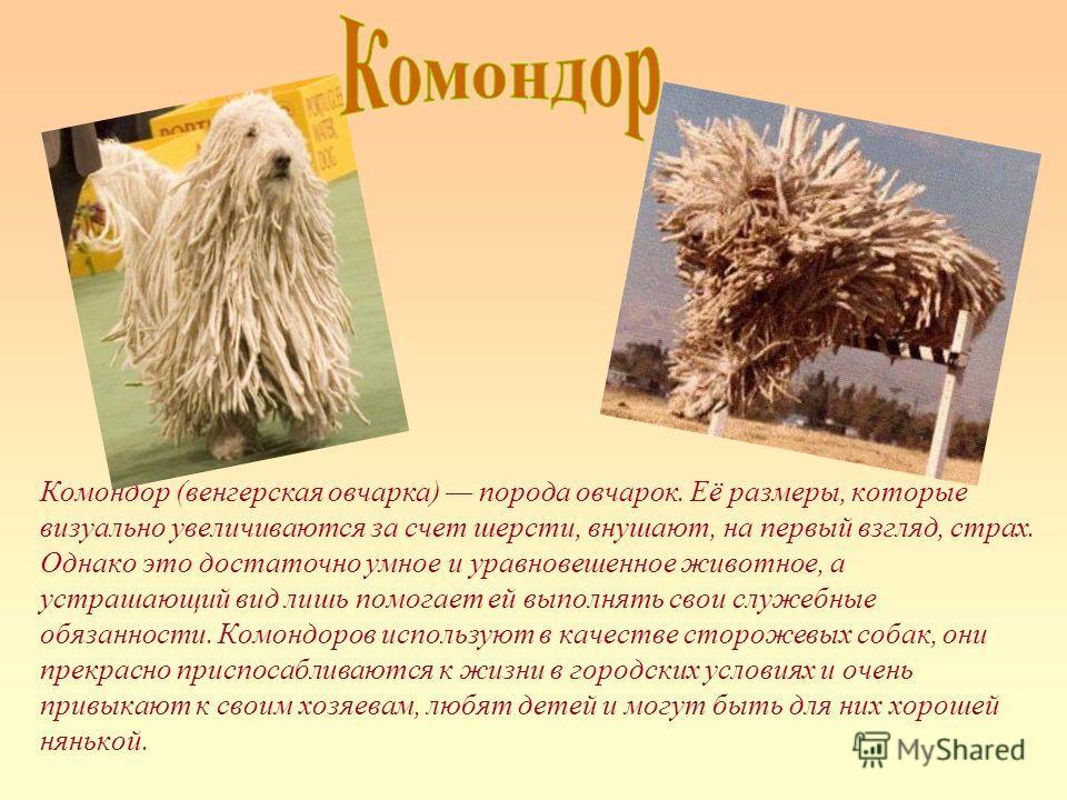 Комондор (венгерская овчарка) порода овчарок. Её размеры, которые визуально увеличиваются за счет шерсти, внушают, на первый взгляд, страх. Однако это достаточно умное и уравновешенное животное, а устрашающий вид лишь помогает ей выполнять свои служе