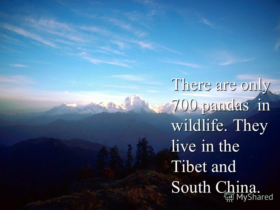There are only 700 pandas in wildlife. They live in the Tibet and South China.