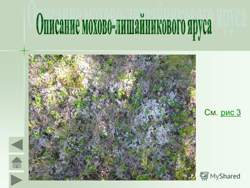 Моховой ярус Ягель Обилие 60 Проективное покрытие(%) 100 См. рис 3рис 3