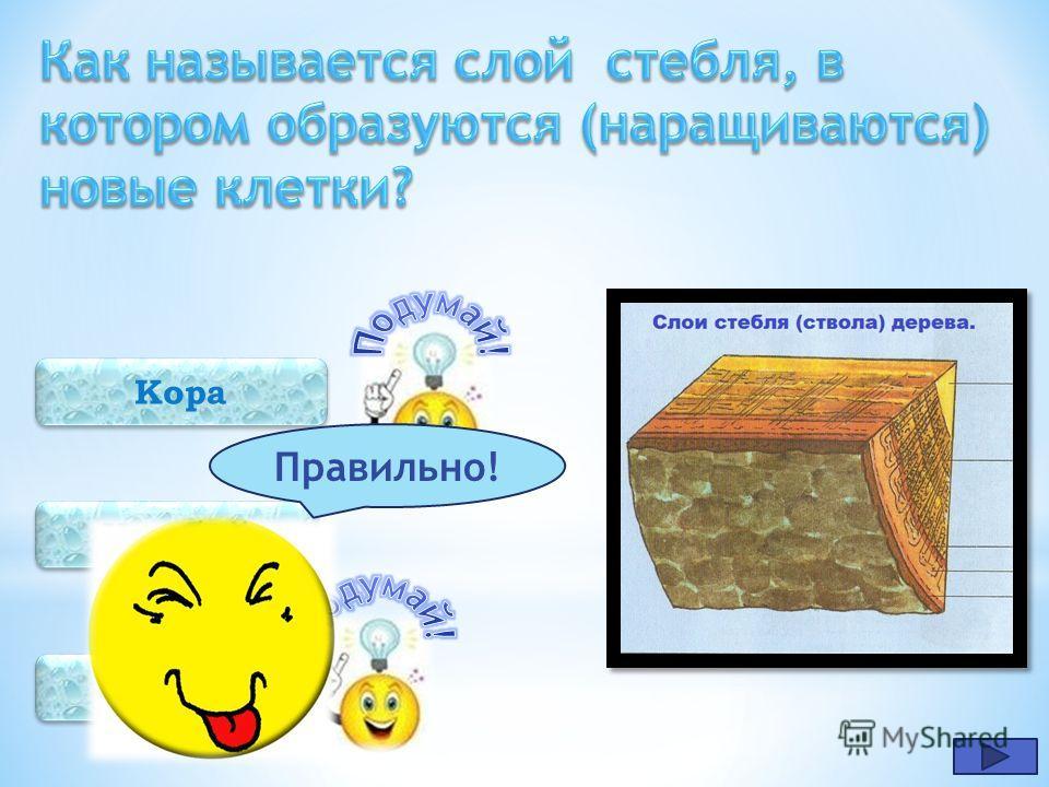 Древесина Сердцевина Пробка Правильно!