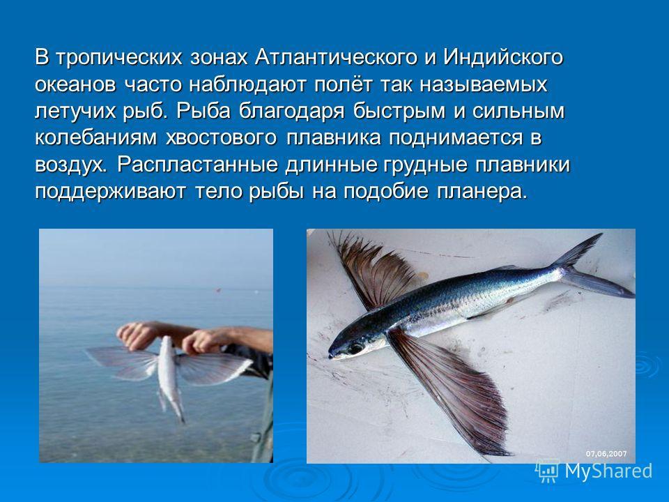 В тропических зонах Атлантического и Индийского океанов часто наблюдают полёт так называемых летучих рыб. Рыба благодаря быстрым и сильным колебаниям хвостового плавника поднимается в воздух. Распластанные длинные грудные плавники поддерживают тело р