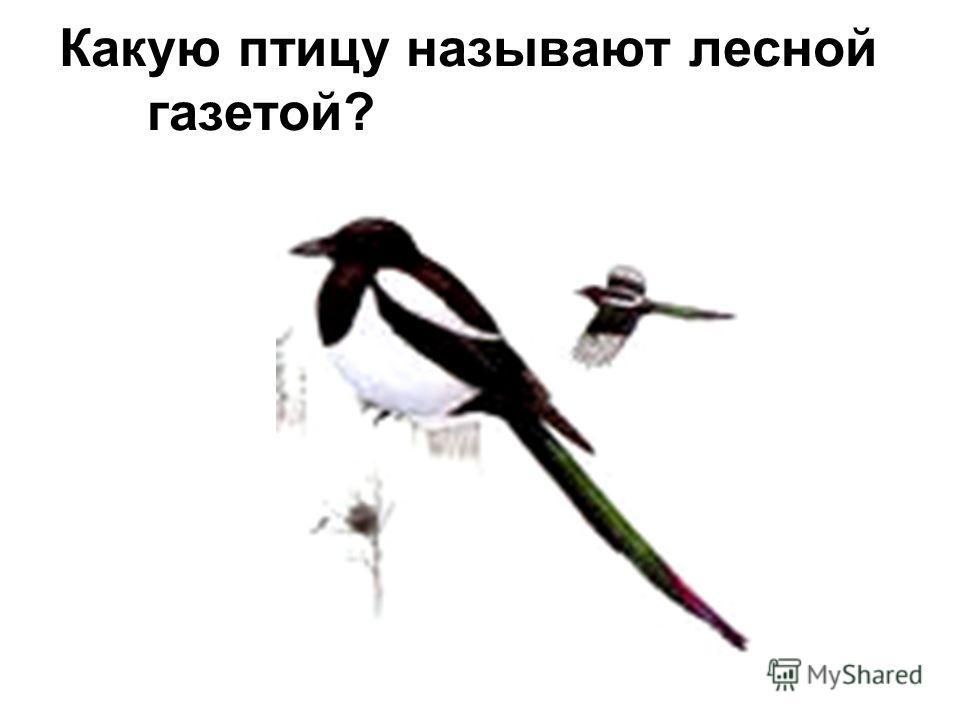 Какую птицу называют лесной газетой?