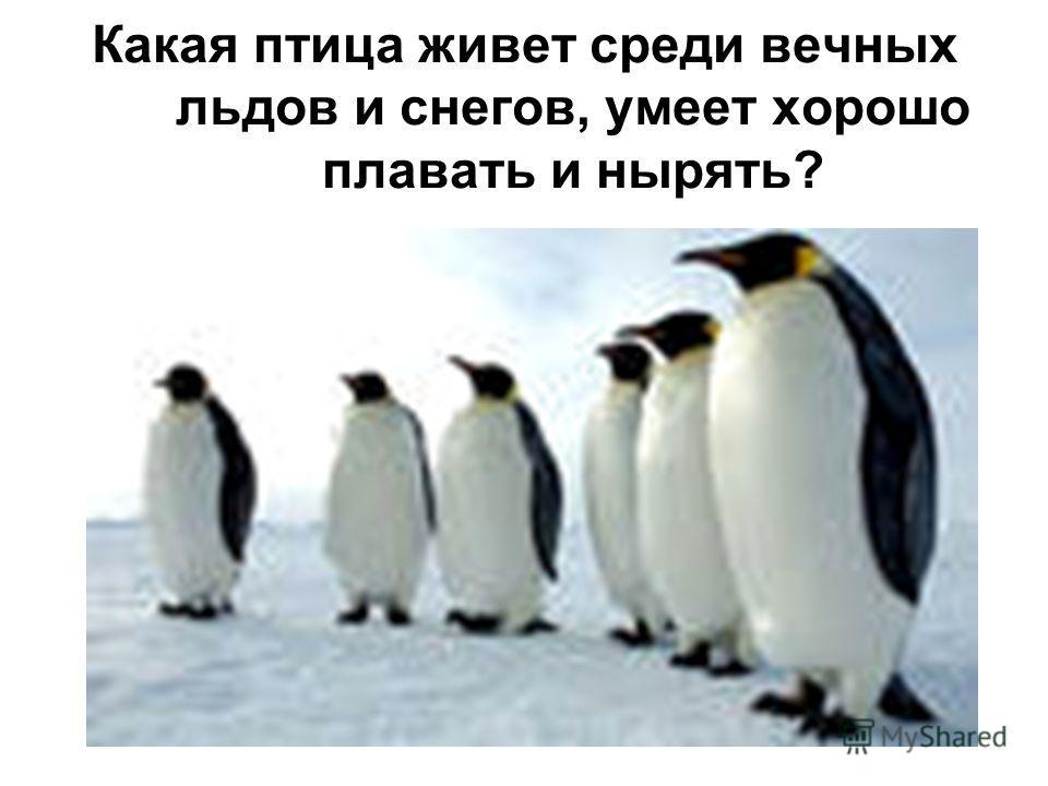 Какая птица живет среди вечных льдов и снегов, умеет хорошо плавать и нырять?