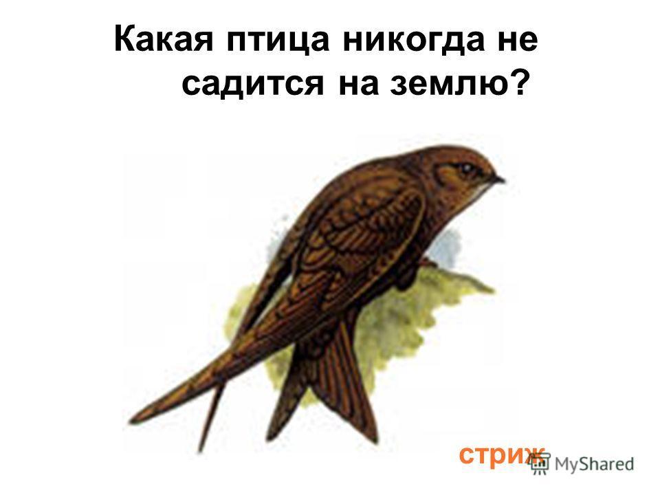 Какая птица никогда не садится на землю? стриж