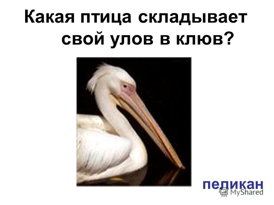 Какая птица складывает свой улов в клюв? пеликан
