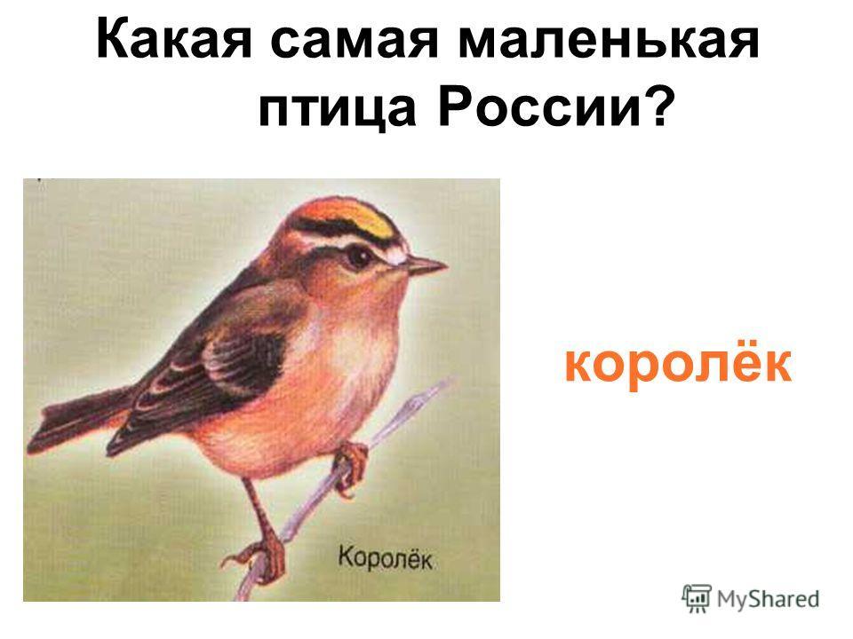 Какая самая маленькая птица России? королёк