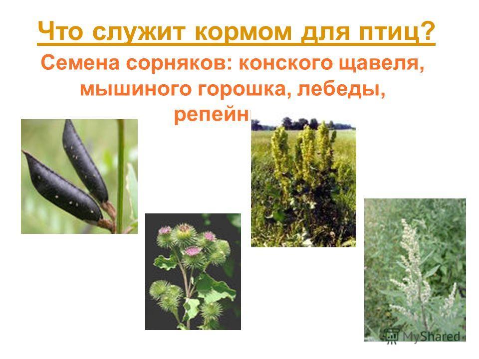 Семена сорняков: конского щавеля, мышиного горошка, лебеды, репейника. Что служит кормом для птиц?