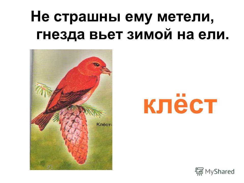 Не страшны ему метели, гнезда вьет зимой на ели. клёст