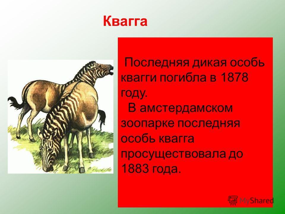 Квагга, обитавшая на юге Африки, была удивительным парнокопытным. Спереди она имела полосатую расцветку, как у зебры, сзади гнедой окрас лошади. Буры истребляли кваггу ради её прочной шкуры. Квагга едва ли не единственное из вымерших животных, предст