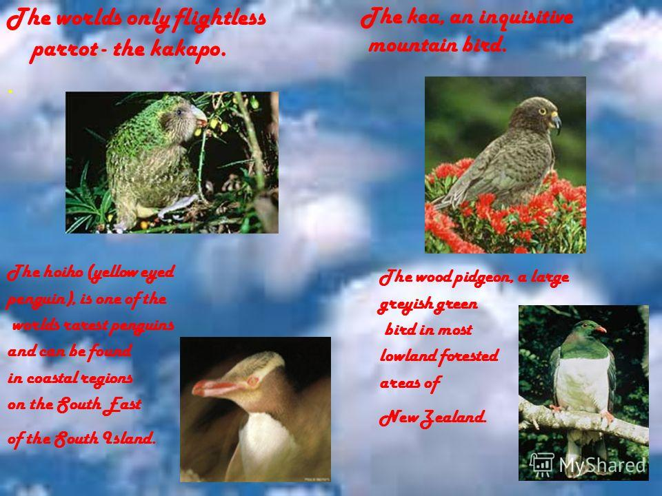 The kea, an inquisitive mountain bird. The hoiho (yellow eyed penguin), is one of the worlds rarest penguins and can be found in coastal regions on the South East of the South Island. The wood pidgeon, a large greyish green bird in most lowland fores