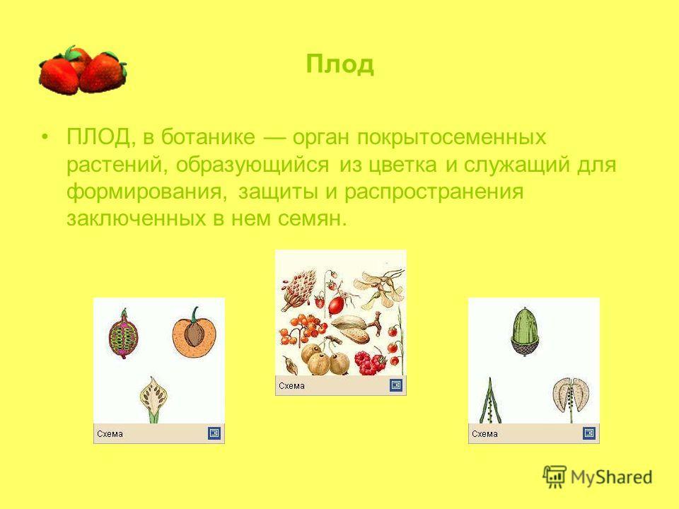 Плод ПЛОД, в ботанике орган покрытосеменных растений, образующийся из цветка и служащий для формирования, защиты и распространения заключенных в нем семян.