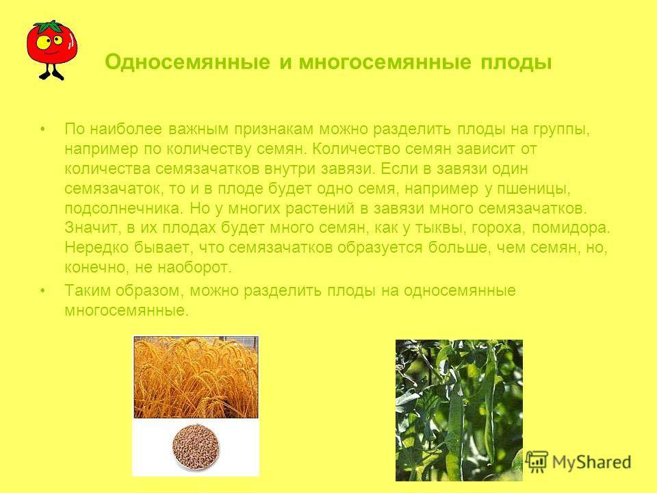 Односемянные и многосемянные плоды По наиболее важным признакам можно разделить плоды на группы, например по количеству семян. Количество семян зависит от количества семязачатков внутри завязи. Если в завязи один семязачаток, то и в плоде будет одно