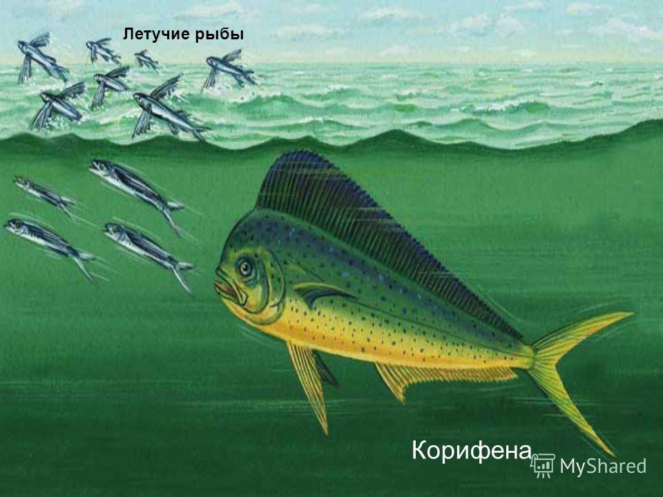 Корифена Летучие рыбы