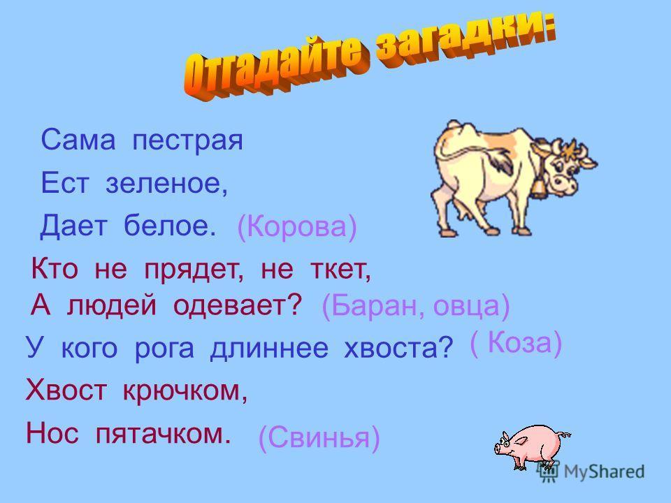 Сама пестрая Ест зеленое, Дает белое. Кто не прядет, не ткет, А людей одевает? У кого рога длиннее хвоста? Хвост крючком, Нос пятачком. (Корова) (Баран, овца) ( Коза) (Свинья)