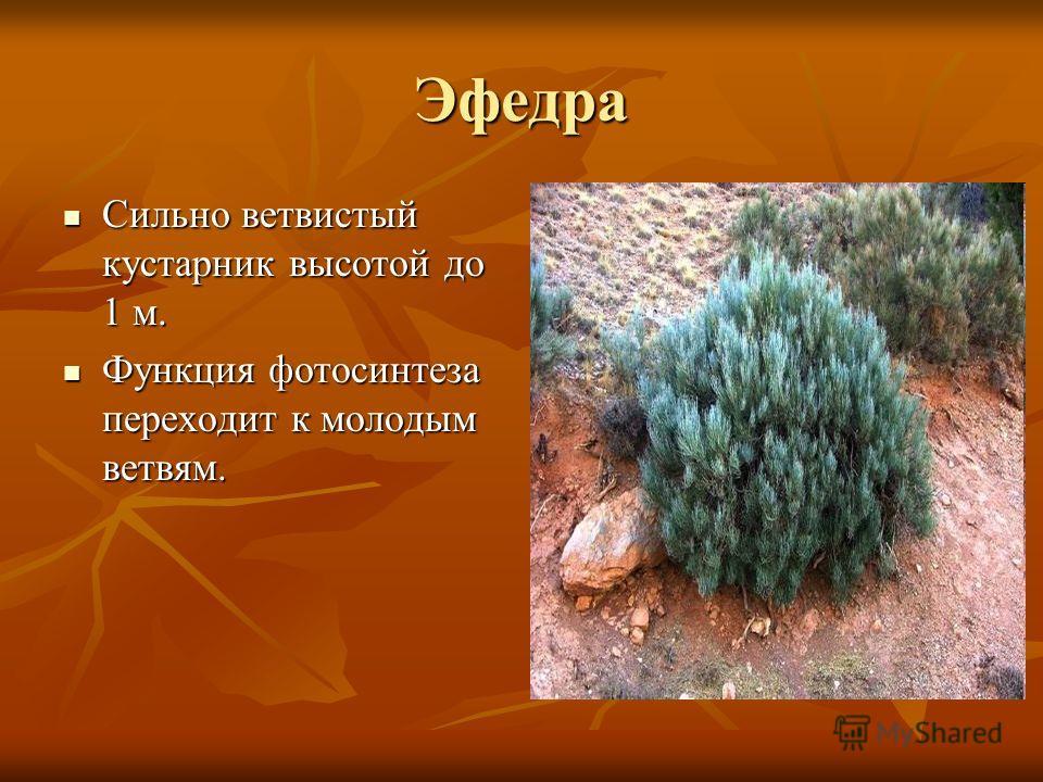 Эфедра Сильно ветвистый кустарник высотой до 1 м. Сильно ветвистый кустарник высотой до 1 м. Функция фотосинтеза переходит к молодым ветвям. Функция фотосинтеза переходит к молодым ветвям.