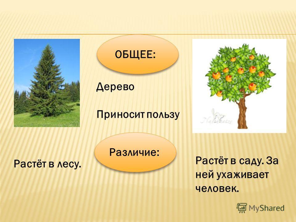 ОБЩЕЕ: Дерево Приносит пользу Различие: Растёт в саду. За ней ухаживает человек. Растёт в лесу.