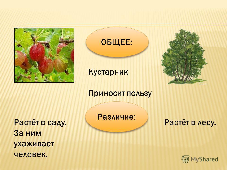 ОБЩЕЕ: Кустарник Приносит пользу Растёт в саду. За ним ухаживает человек. Растёт в лесу. Различие: