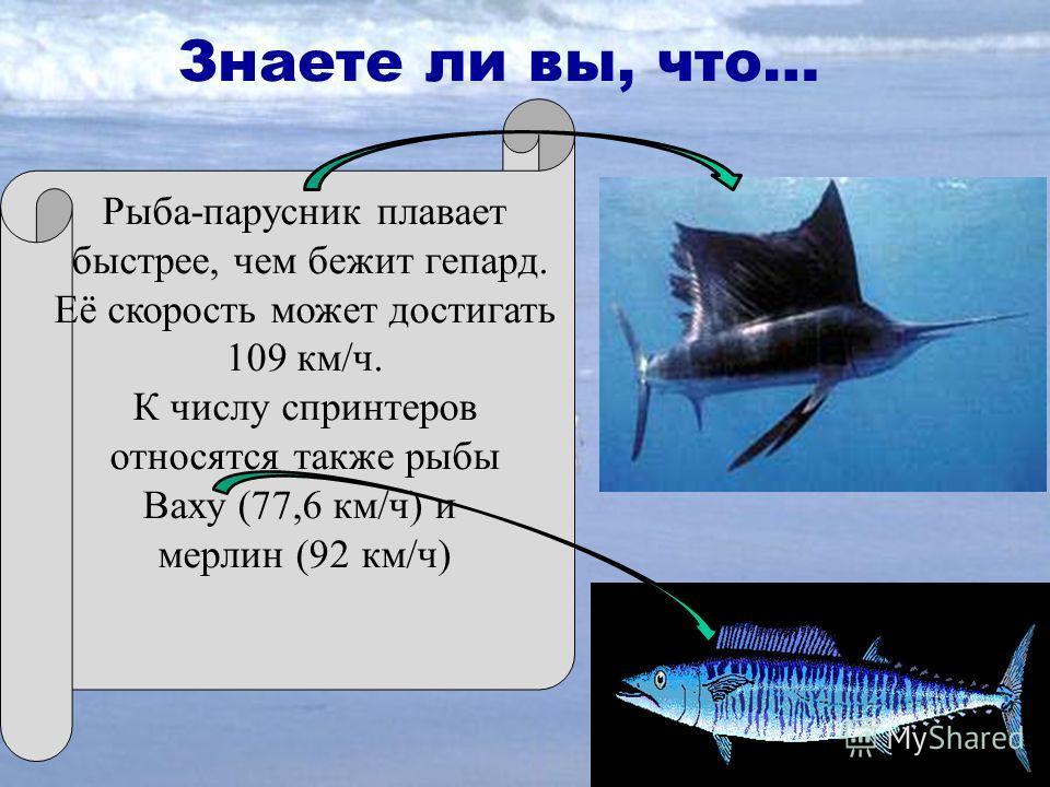 Знаете ли вы, что… Рыба-парусник плавает быстрее, чем бежит гепард. Её скорость может достигать 109 км/ч. К числу спринтеров относятся также рыбы Ваху (77,6 км/ч) и мерлин (92 км/ч)