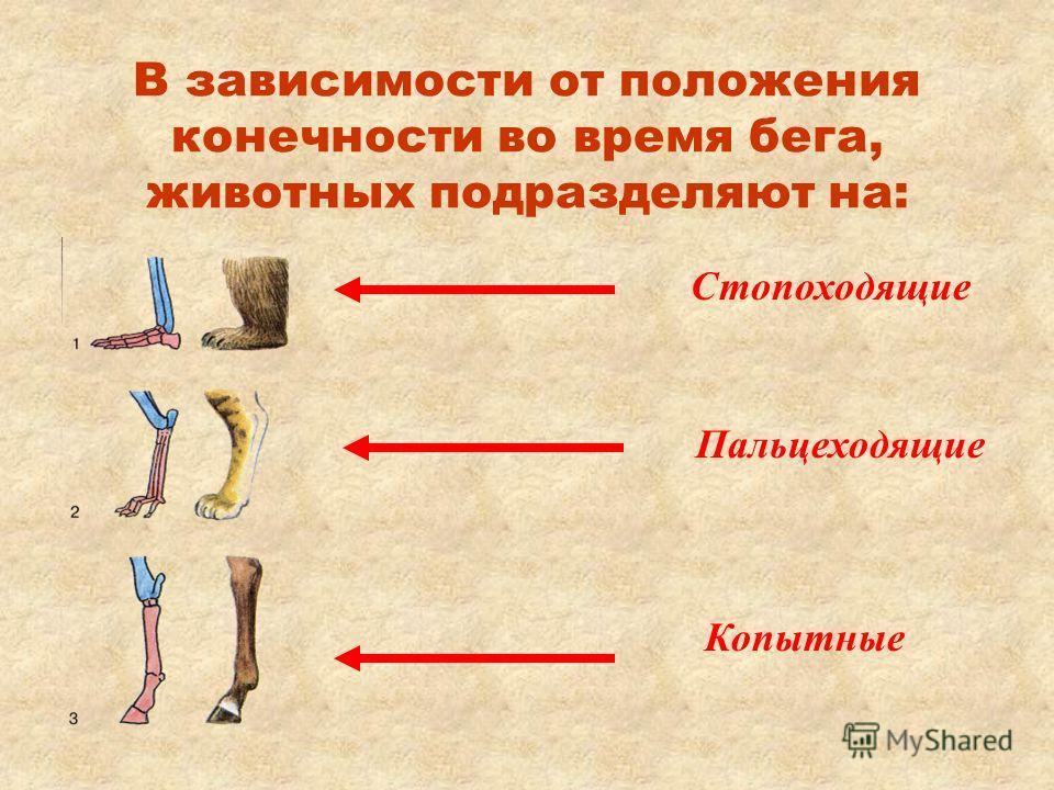 В зависимости от положения конечности во время бега, животных подразделяют на: Стопоходящие Пальцеходящие Копытные