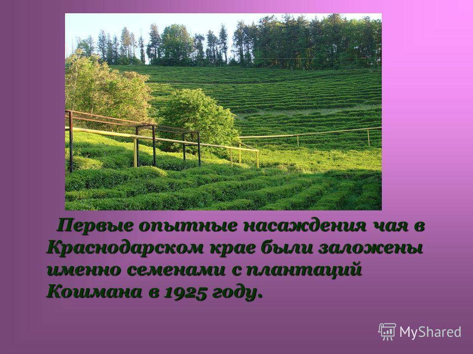 Первые опытные насаждения чая в Краснодарском крае были заложены именно семенами с плантаций Кошмана в 1925 году. Первые опытные насаждения чая в Краснодарском крае были заложены именно семенами с плантаций Кошмана в 1925 году.