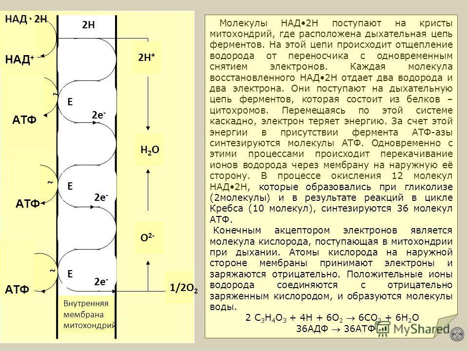 НАД + ~ ~ ~ АТФ 1/2О 2 О 2- Н2ОН2О 2Н+2Н+ Внутренняя мембрана митохондрий Е Е Е 2Н 2е - НАД ۰ 2Н Молекулы НАД2Н поступают на кристы митохондрий, где расположена дыхательная цепь ферментов. На этой цепи происходит отщепление водорода от переносчика с