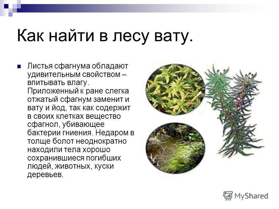 Как найти в лесу вату. Листья сфагнума обладают удивительным свойством – впитывать влагу. Приложенный к ране слегка отжатый сфагнум заменит и вату и йод, так как содержит в своих клетках вещество сфагнол, убивающее бактерии гниения. Недаром в толще б