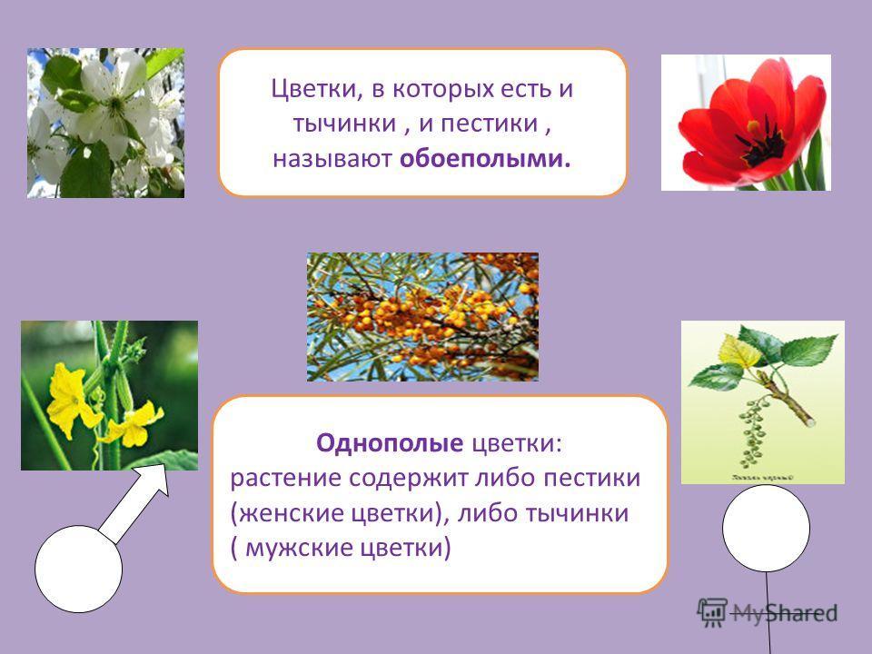 Цветки, в которых есть и тычинки, и пестики, называют обоеполыми. Однополые цветки: растение содержит либо пестики (женские цветки), либо тычинки ( мужские цветки)