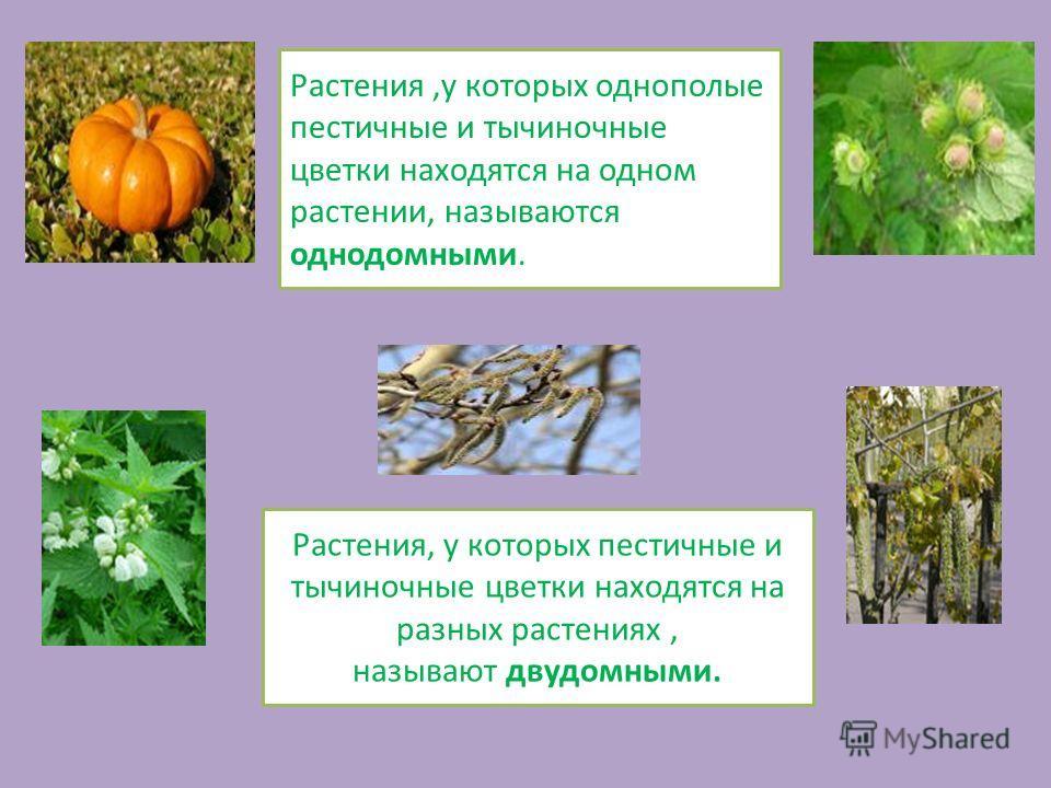 Растения,у которых однополые пестичные и тычиночные цветки находятся на одном растении, называются однодомными. Растения, у которых пестичные и тычиночные цветки находятся на разных растениях, называют двудомными.
