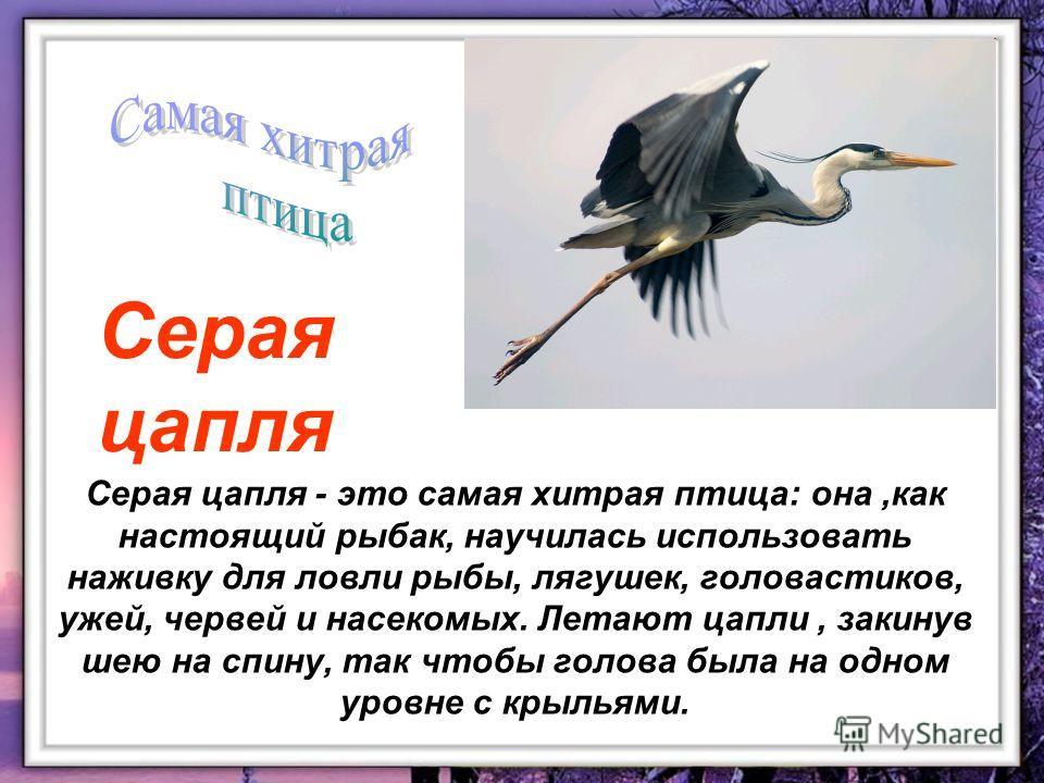 Серая цапля - это самая хитрая птица: она,как настоящий рыбак, научилась использовать наживку для ловли рыбы, лягушек, головастиков, ужей, червей и насекомых. Летают цапли, закинув шею на спину, так чтобы голова была на одном уровне с крыльями. Серая